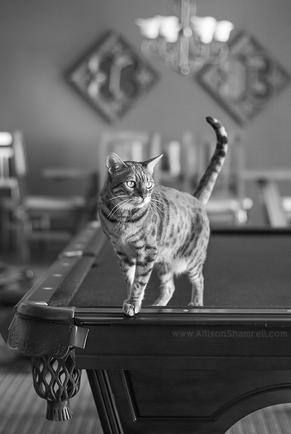 cat on billiards table