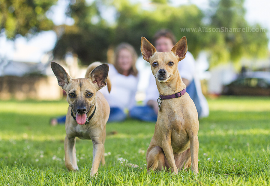 chihuahua mix dogs