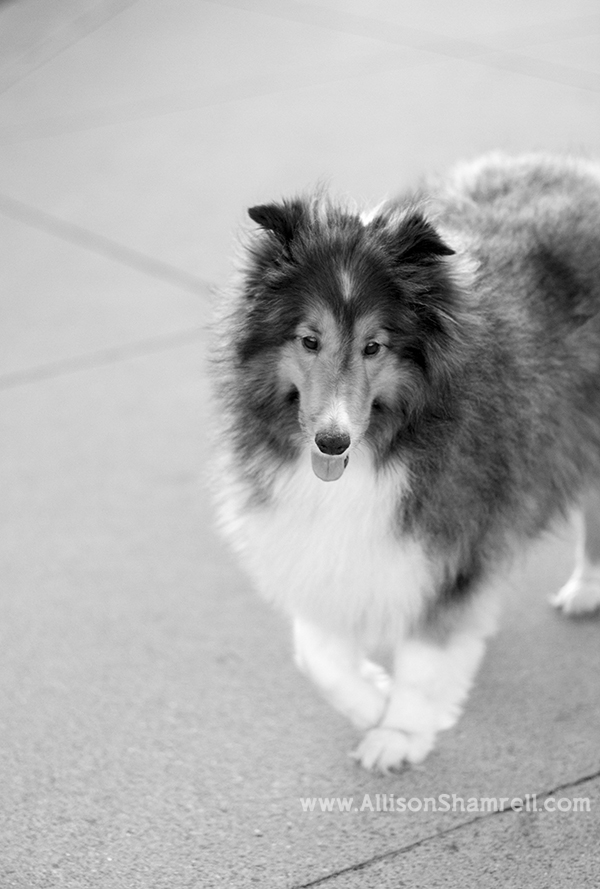 black and white sheltie
