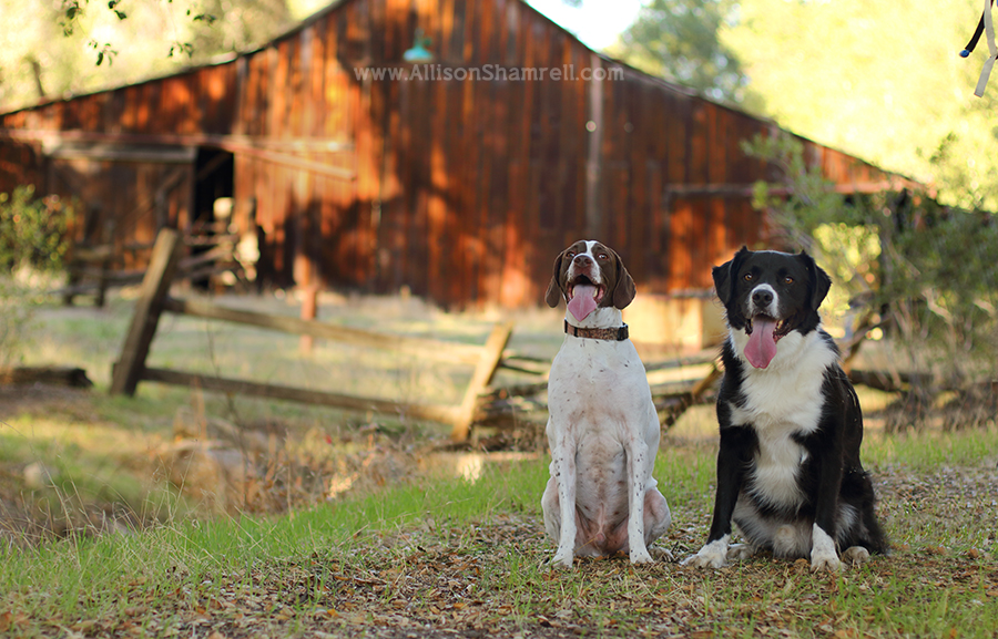 dogs with barn