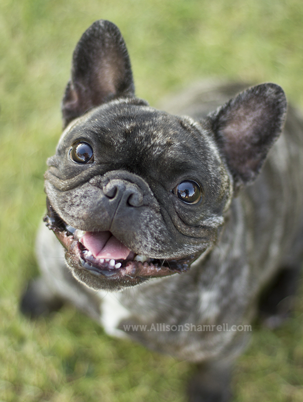 french bulldog san diego