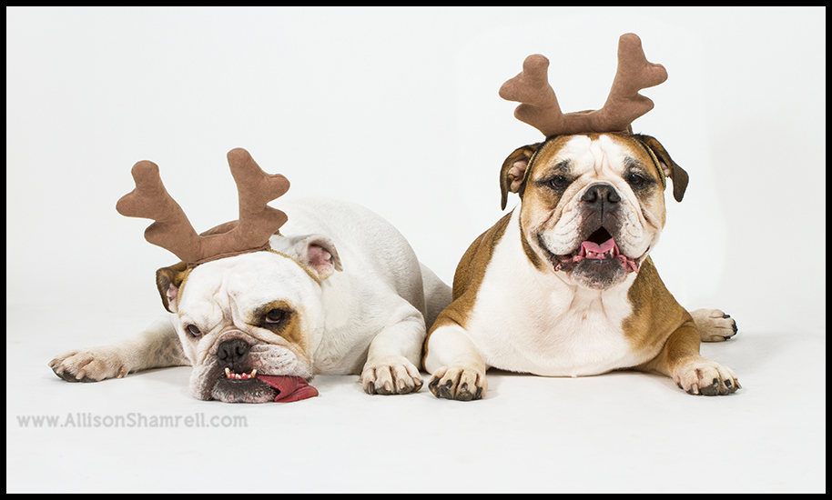 funny bulldogs christmas
