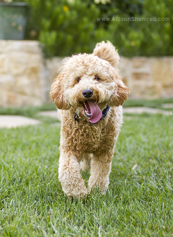best goldendoodle photo