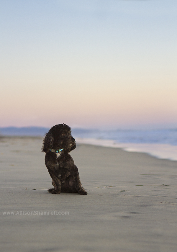 maltipoo beach photo