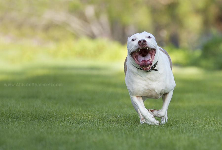 running pittie