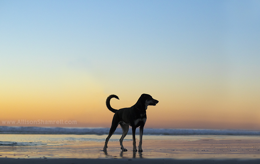 sunset dog silhouette