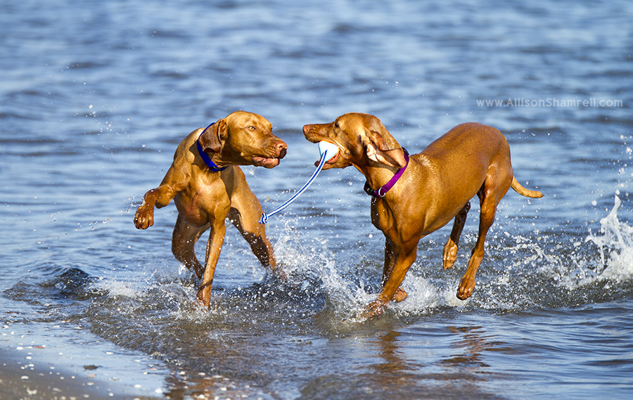 vizslas playing san diego