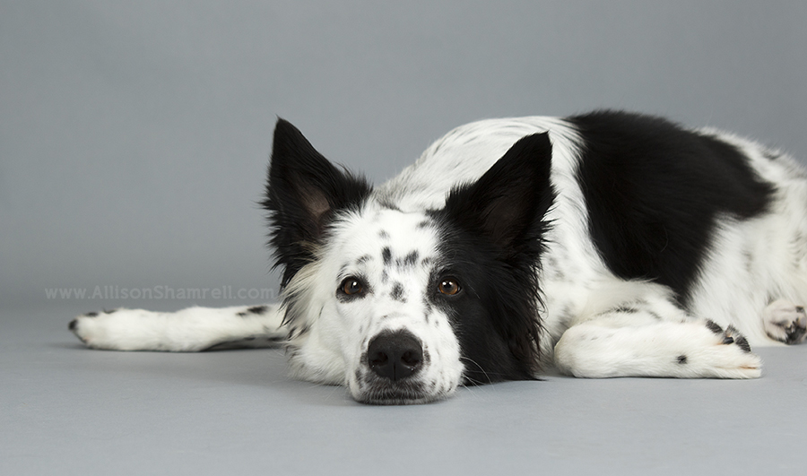 Collie Dog As A Pet