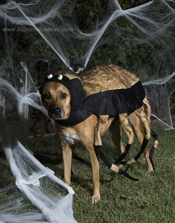 dog dressed as spider