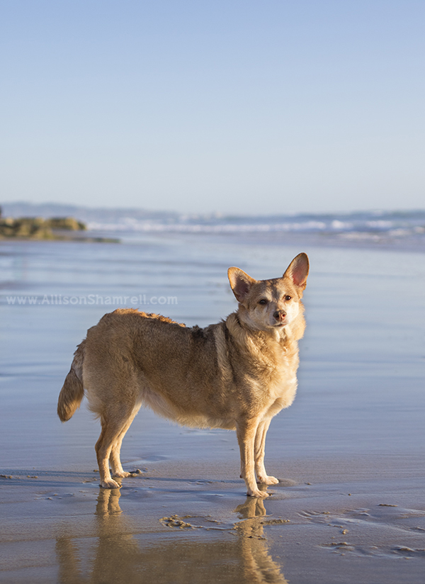 chihuahua mix at the beach