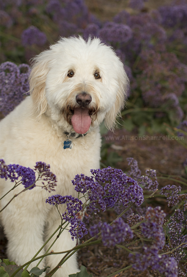 san diego goldendoodle photo