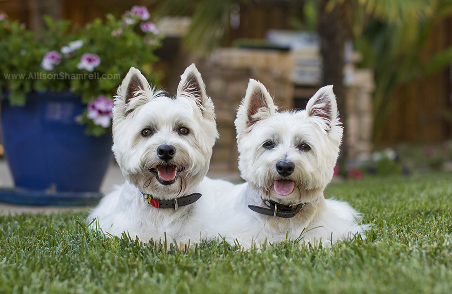 Encinitas Westies