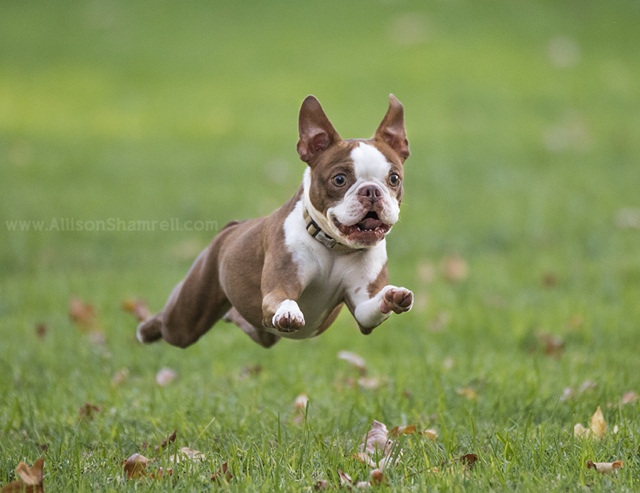 running boston terrier