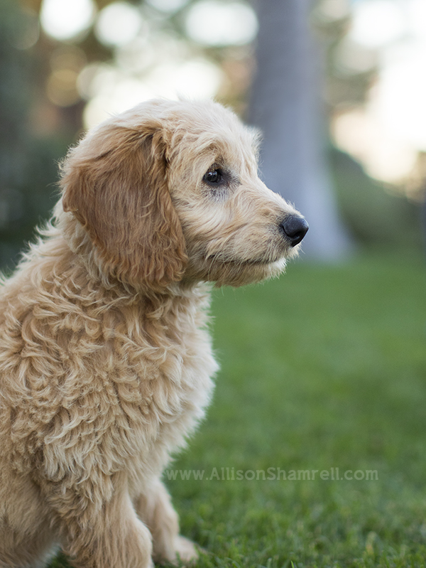 goldendoodle puppy profile