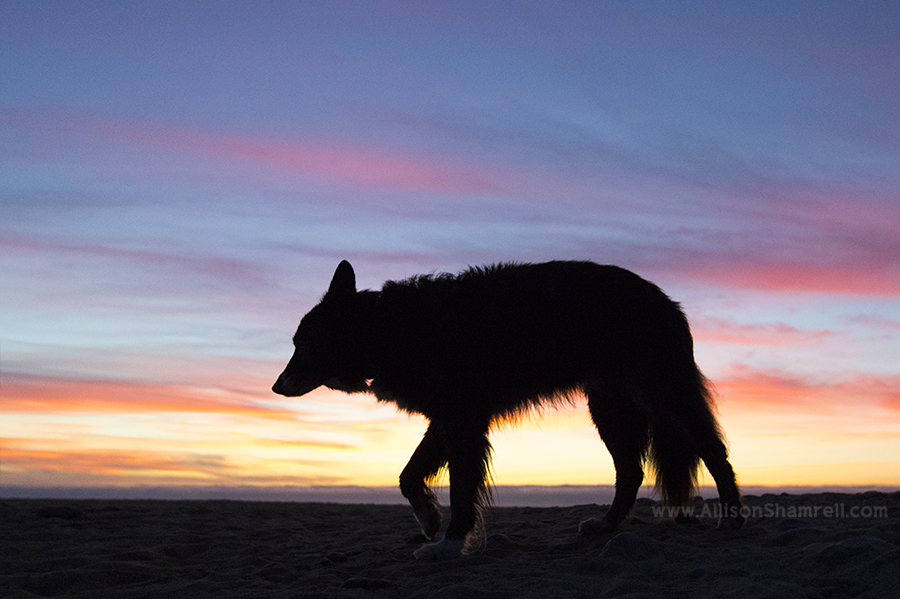 border collie sunset