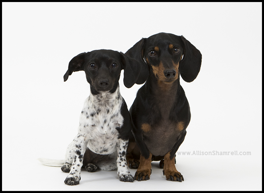 dogs mini session