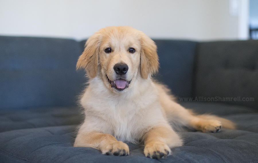 golden retriever puppy on couch