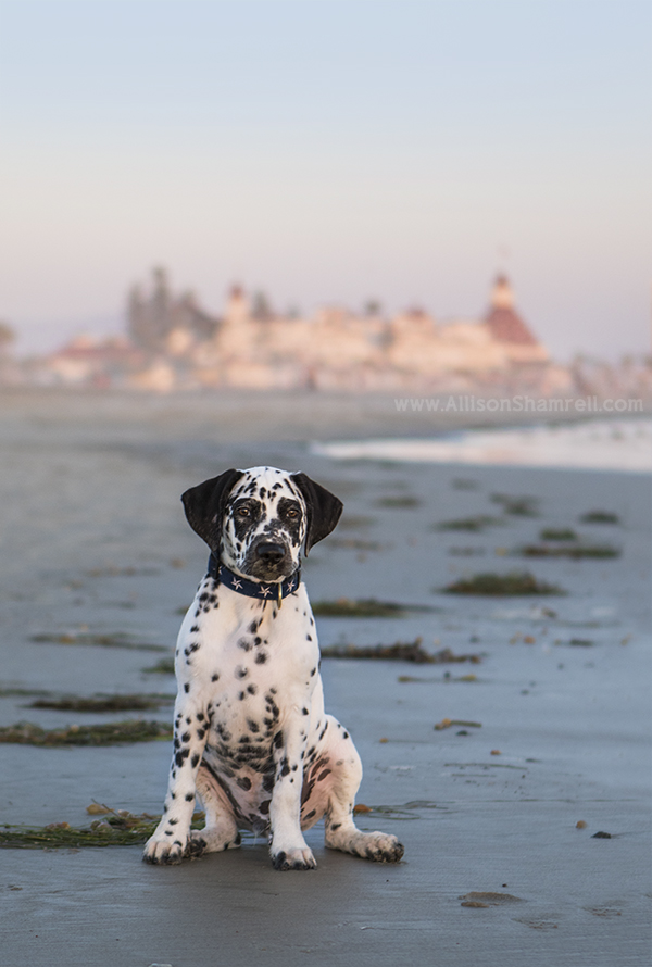 dalmatian puppy on coronado beach