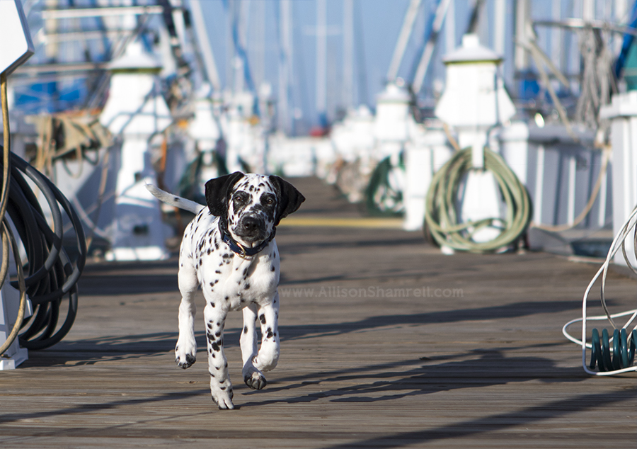 dalmatian puppy in marina