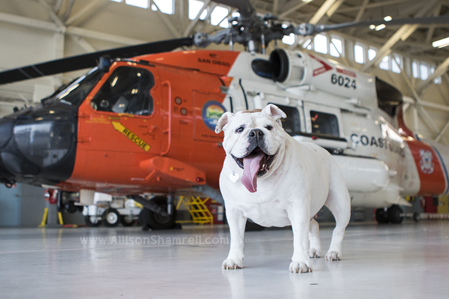 english bulldog with a helicopter