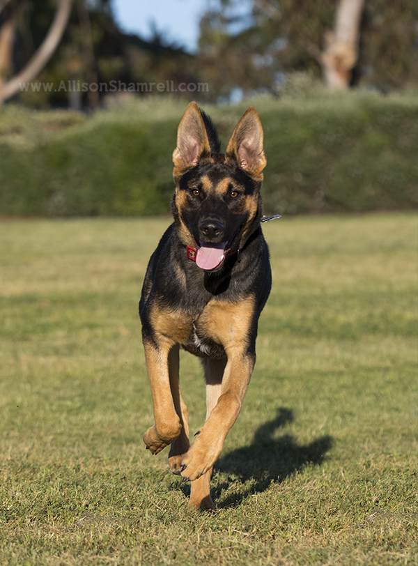 shepherd mix dog running