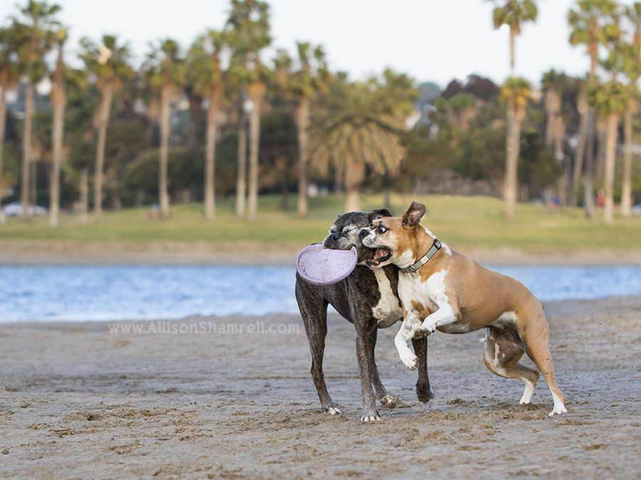 san diego boxers playing