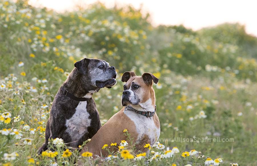 two dogs in a flower field