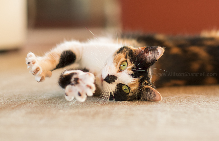 calico cat photo