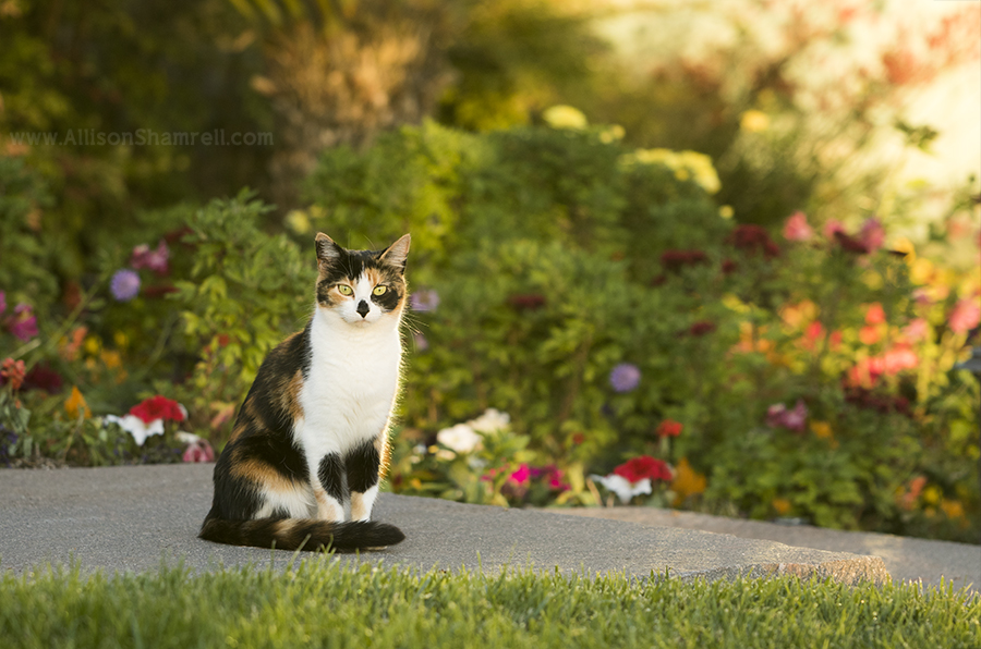 calico cat picture
