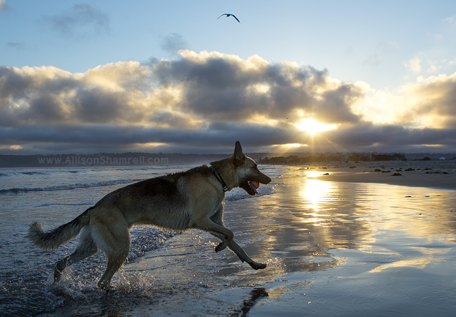german shepherd in San Diego
