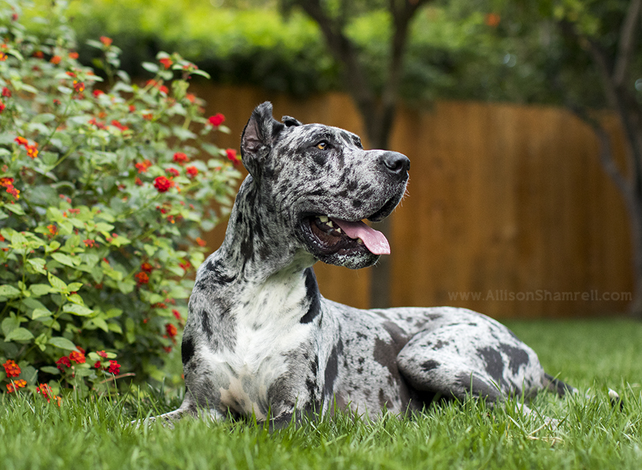 great dane from la jolla