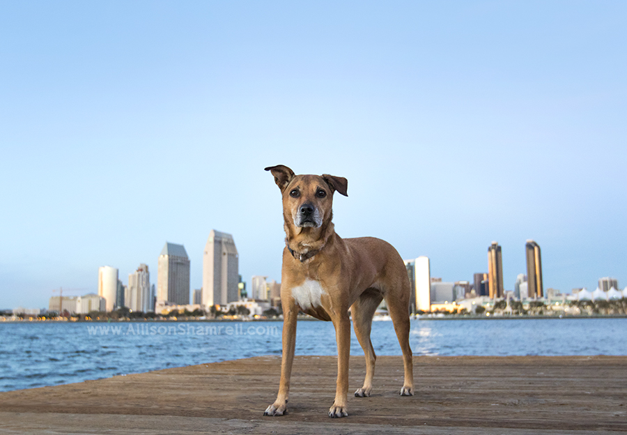 san diego dog with skyline